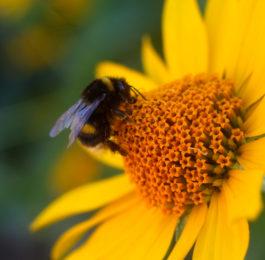 pszczółka na kwiatku fotografia